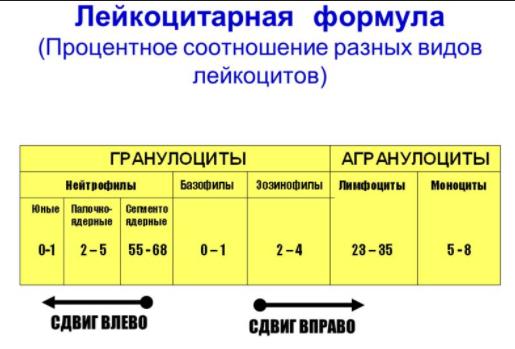 Расшифровка лейкоцитарной формулы крови
