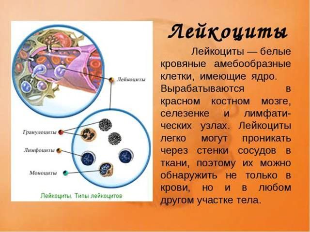 Что такое лейкоциты в крови, какая норма лейкоцитов в крови должна быть