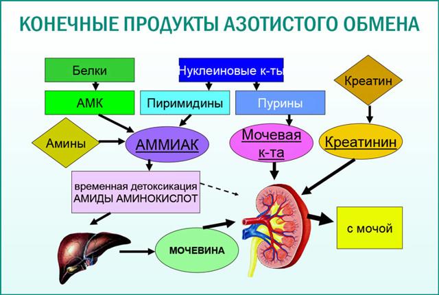 Мочевина в крови — что это такое, как лечить повышение мочевины