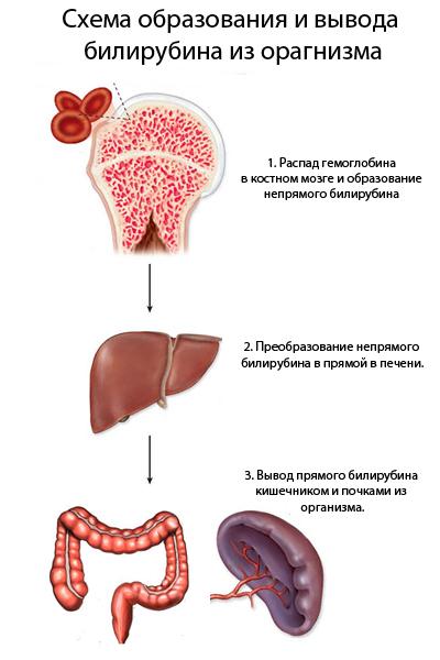 Анализ крови на билирубин – расшифровка, норма