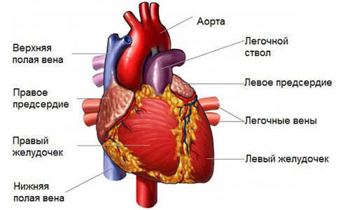 Аномально расположенная хорда в полости левого желудочка