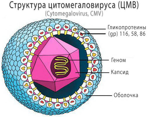 Цитомегаловирус (ЦМВ) — что это такое, причины, симптомы и лечение